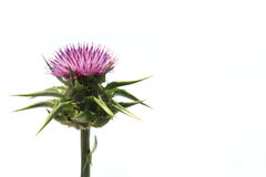 Free Thistle Stock Images - 5028264
