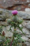 Thistle Stock Photos