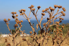 Thistle against Royalty Free Stock Photography