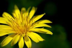 Thistle amarelo Fotos de Stock Royalty Free