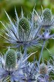 Thistle azul Imagens de Stock Royalty Free