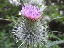 A Thistle in the Wood royalty free stock photography
