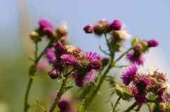 Thistle Royalty Free Stock Image