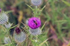 Thistle Bee stock photo
