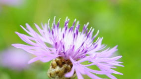 Thistle and a bee stock video