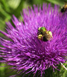 Thistle and Bee Macro. A macro of a purple thistle wildflower in the summer with a bee royalty free stock photos