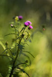 Thistle and bee. Very beautiful flower in the meadow some weeds among them- prickly thistle Stock Photography