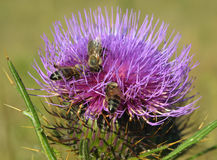 Thistle and bees Stock Images