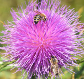 Thistle and bees Royalty Free Stock Photography