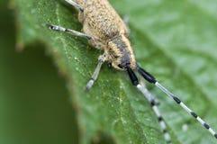 Thistle beetle Stock Photos