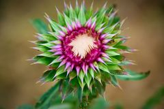 Thistle beginning to bloom Stock Images