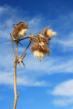 Thistle Bloom. This image shows a macro from a thistle bloom with sky and clouds royalty free stock images