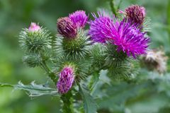 Thistle blooming closeup outdoor horizontal Royalty Free Stock Images