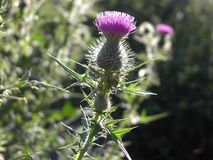 Thistle Blossom. A thistle blossom against a blurred background Stock Photo