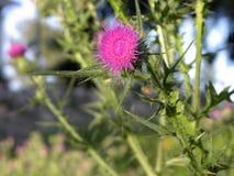 Thistle Blossom stock image