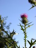 Thistle Blossom. A thistle blossom against the sky Royalty Free Stock Image