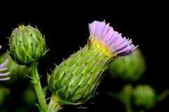 Thistle Blossom Royalty Free Stock Photo