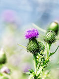 Thistle Blossom Royalty Free Stock Photography