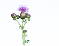 Thistle Blossom Stock Image