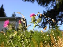 Thistle Blossoms and Grass. Thistle blossoms and dry grass against a background of grass, trees, the sky, and a house Royalty Free Stock Image