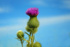Thistle in a blue sky. Royalty Free Stock Photos