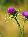 Thistle on blurred background. Two thistle flowers, one in focus, the other a bit blurred on brown green background. National flower of Scotland Stock Photo