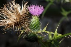 A thistle on a branch royalty free stock photos