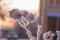 The thistle branches covered by the snow Stock Photo