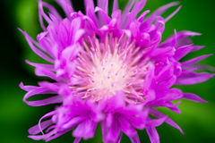 The thistle brightly violet color dissolves its long petals. royalty free stock image