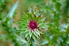 Thistle Bud. Closeup royalty free stock photo