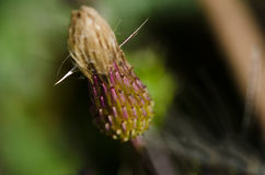Thistle Bud About to Open Stock Photo