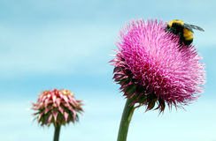 Thistle with Bumble Bee. Thorny thistle flower with bumble bee royalty free stock photos