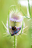 Thistle bumble-bee. Thistlenbumble-bee on the thistle Royalty Free Stock Photography
