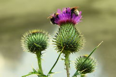 Thistle with bumblebees. The thistel in bloom with bumblebees royalty free stock photo