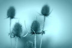 Thistle - burdock Stock Photography