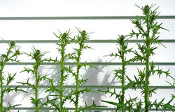 Thistle bushes against vinyl siding Royalty Free Stock Image