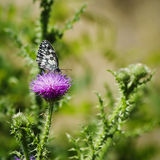 Thistle and Buterfly Stock Photography