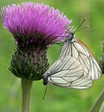 Thistle with butterflies Stock Photos