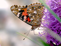 Thistle butterfly Royalty Free Stock Photography