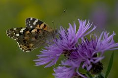 Thistle Butterfly. Sitting on a thistle in Wijster at the old deep, Netherlands Stock Photography