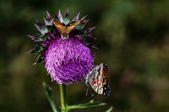 Thistle and Butterflys Stock Images