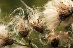 Thistle capsule dispersing seeds Royalty Free Stock Image