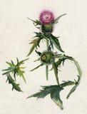 Thistle (Carduus) Foto de Stock