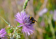 Thistle (carduus) and bumblebee (bombus). Stock Image