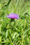 Thistle - Cirsium-vulgare Stock Photo