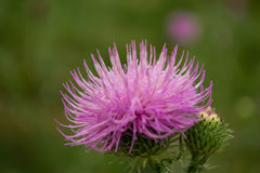 Thistle, close up. Field with thistle. plant of family of Astrov, macro royalty free stock photo