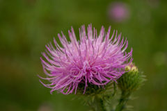 Thistle, close up. Field with thistle. plant of family of Astrov, macro stock photo
