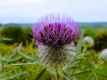 Thistle Closeup royalty free stock images