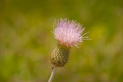 Thistle Royalty Free Stock Images