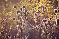 Thistle with cobweb Stock Images